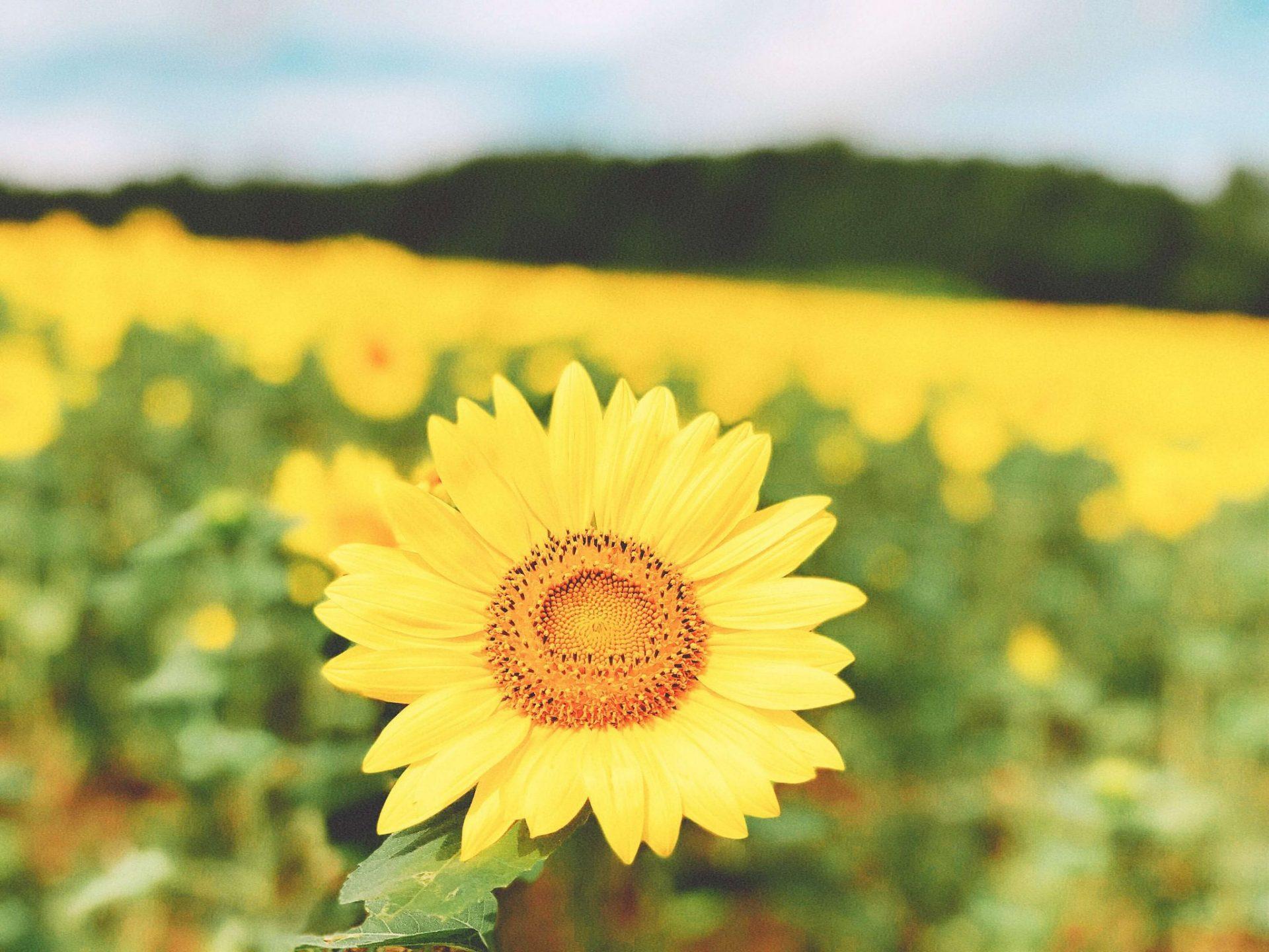 closeup shot of sunflower