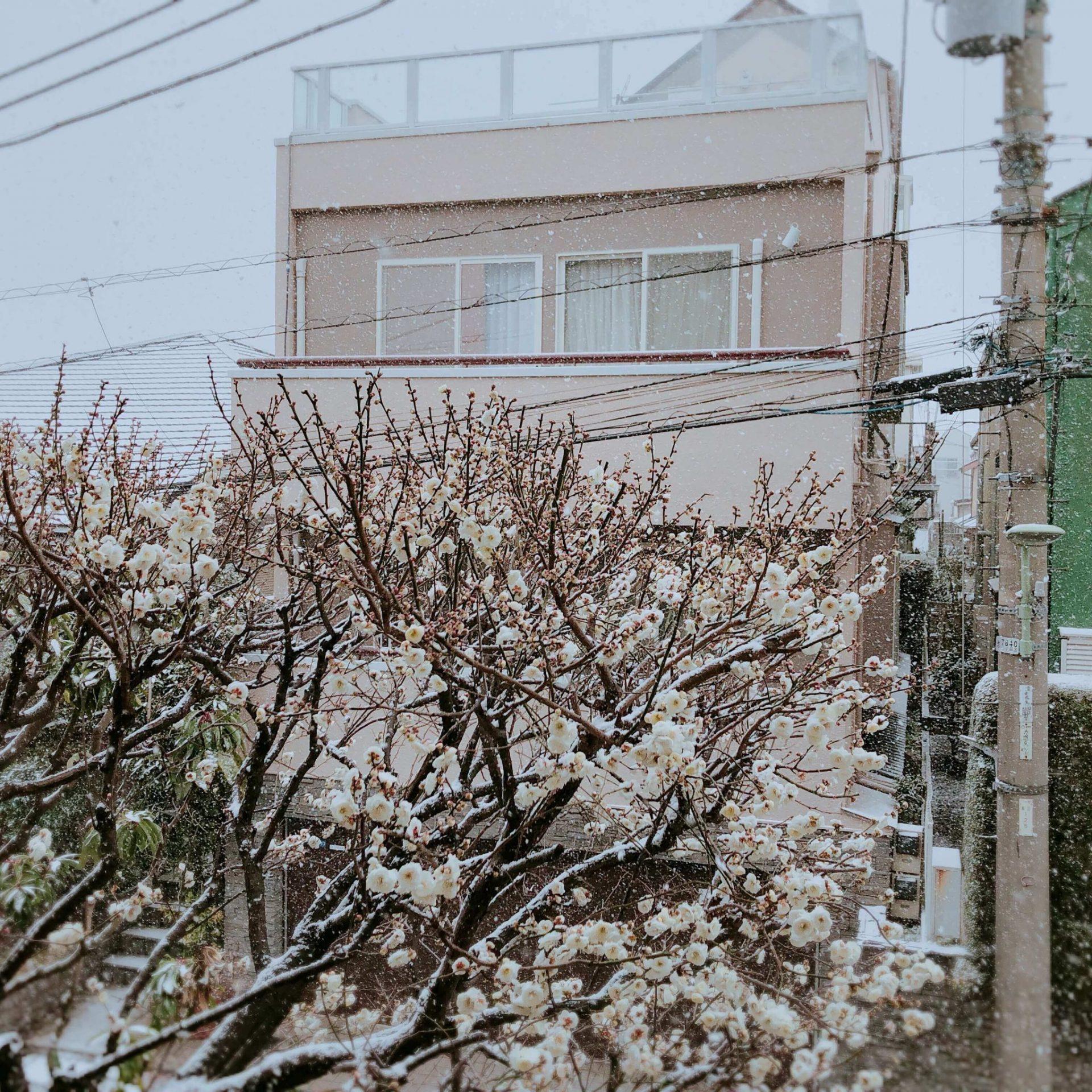 Plum blossom and snow