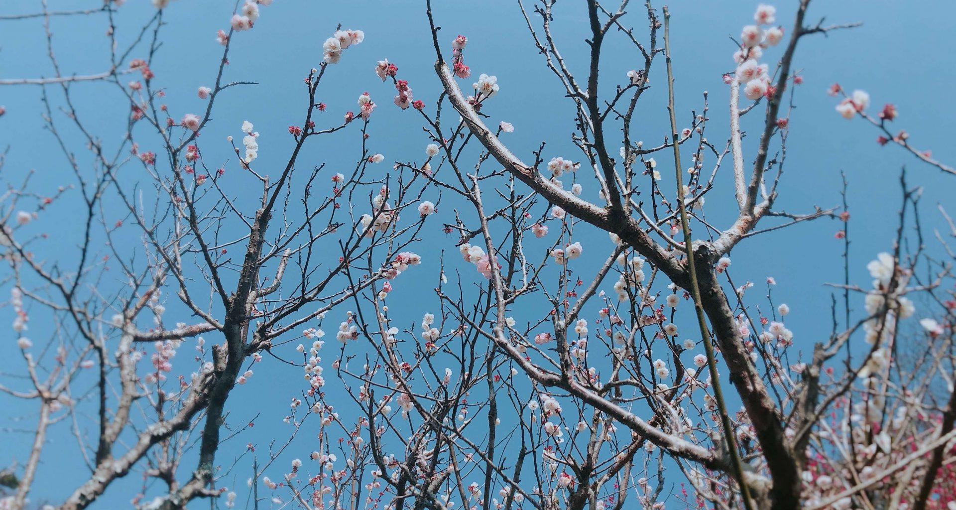 Another plum blossom shot with blue sky