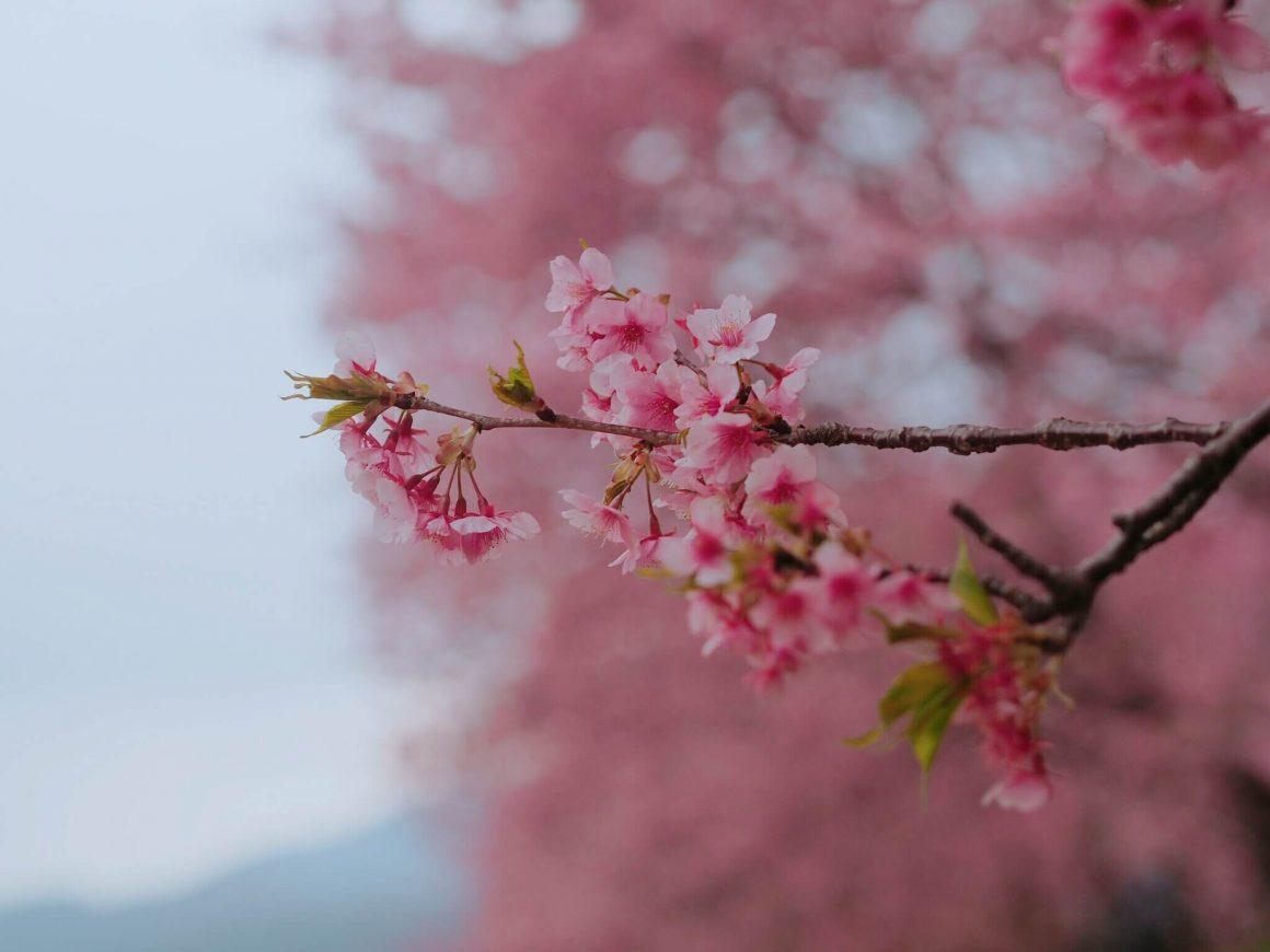 Beautiful pink sakura