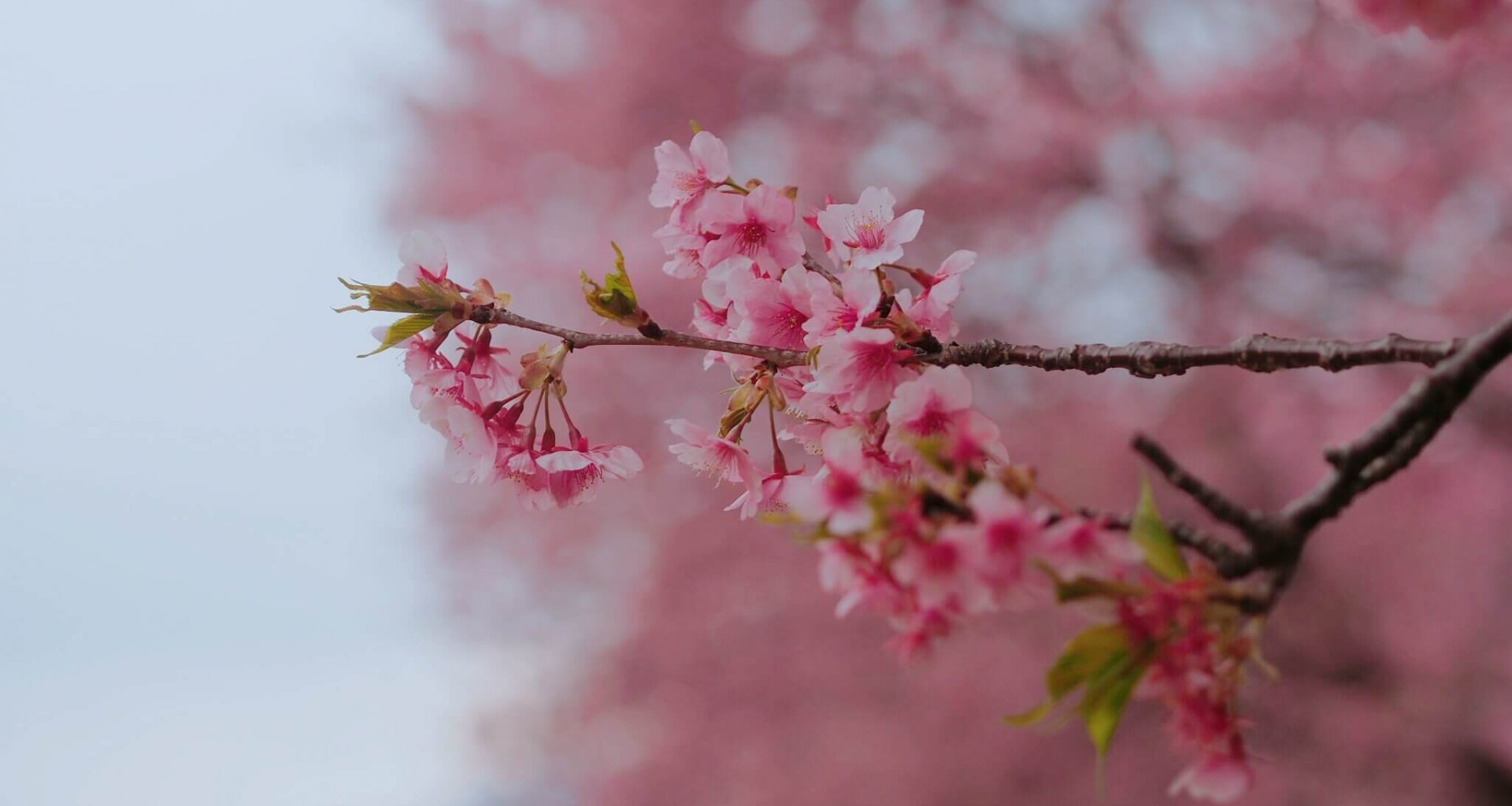 Beautiful pink sakura