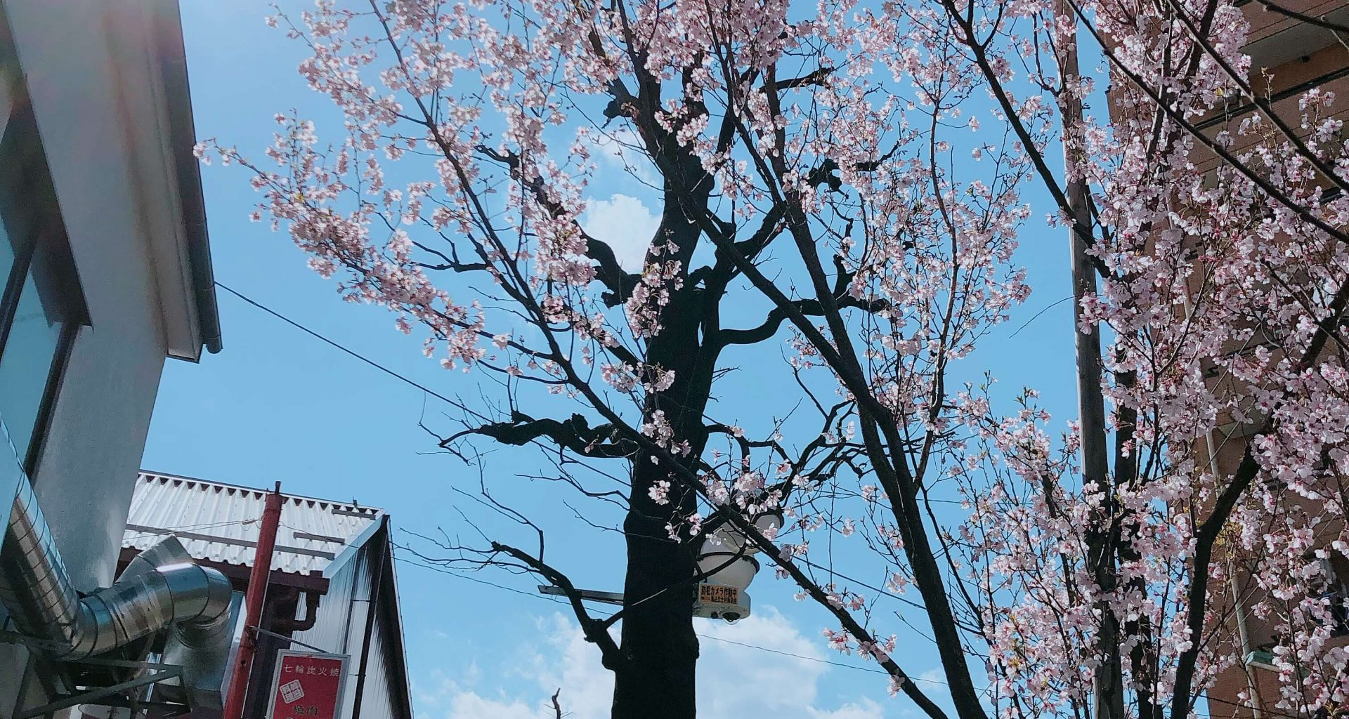 cherry blossoms galore; Cherry Blossoms Tree