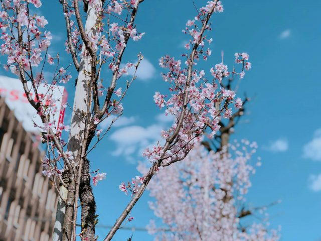 Close Up of Cherry Blossoms With Bright Sky