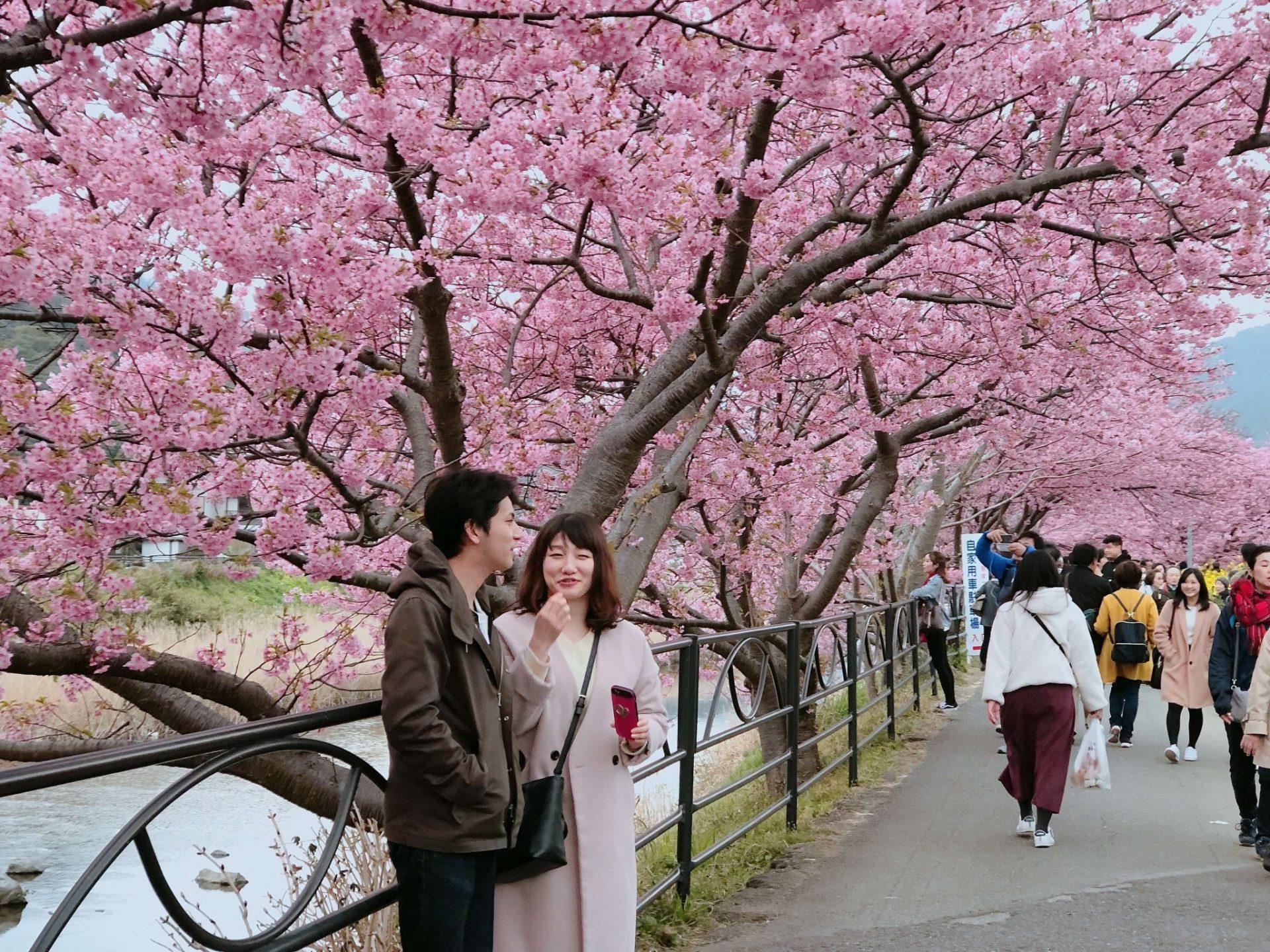cherry blossoms galore; Couple celebrating sakura festival