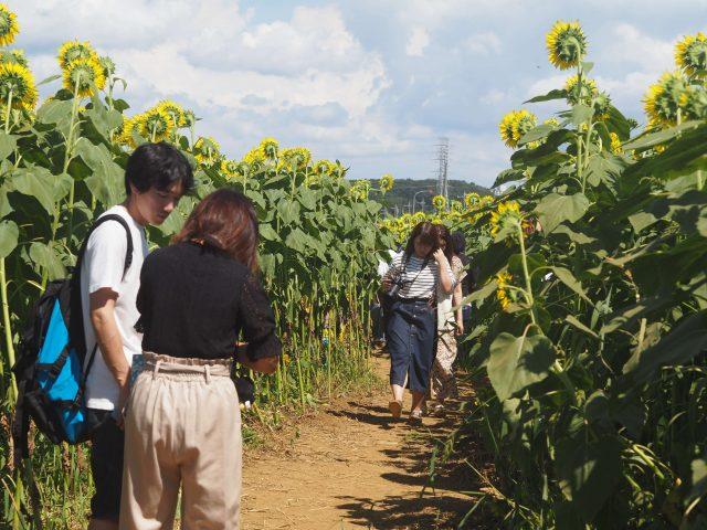 Must-Visit Sunflower Farm near Tokyo, Sunflower-5