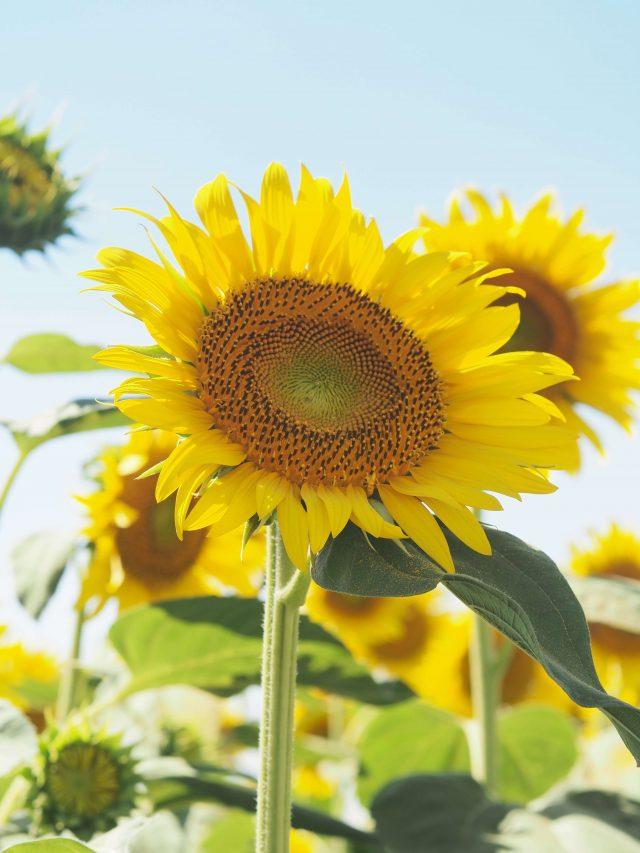 Must-Visit Sunflower Farm near Tokyo; Tall sunflower